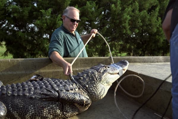 Rick Lightsey learned nuisance alligator trapping from his father in South Florida.