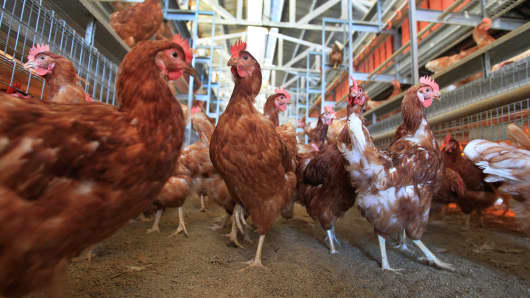 Chickens roam about a cage-free aviary system barn in Lakeview, California.