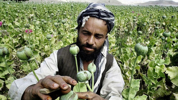 An Afghan poppy farmer uses a blade to score the surface of a poppy in order to extract raw opium in Laghman province, Afghanistan.