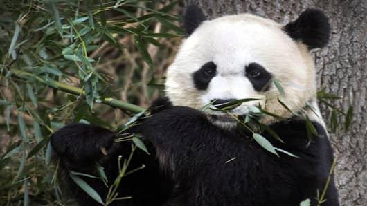 national zoo panda--1334154127_v2.jpg