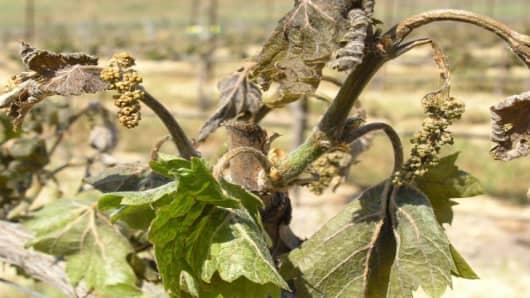 Vineyard-Frost-Calif.jpg