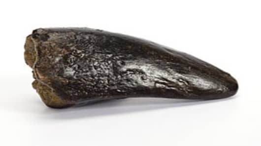 Tyranosaurus Rex Tooth