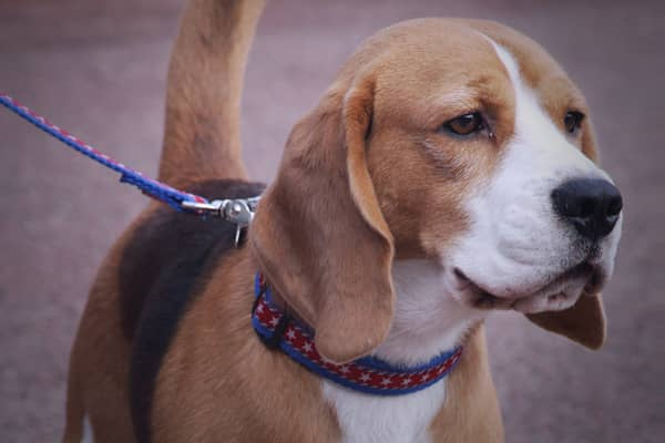 "The winner is ""Uno!"" This 15-inch, 28-pound Beagle won ""Best in Show"" at the 2008 Westminster Dog show becoming the heavyweight champion of the canine world. Part of Uno's unique appeal is that he's the first beagle to ever win the coveted title. Uno's subsequent media tour included an invitation to the White House."