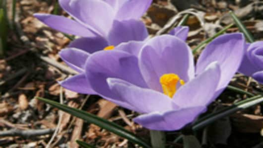 crocus_flowers.jpg