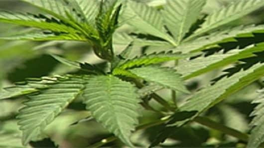 marijuana_plants_200.jpg