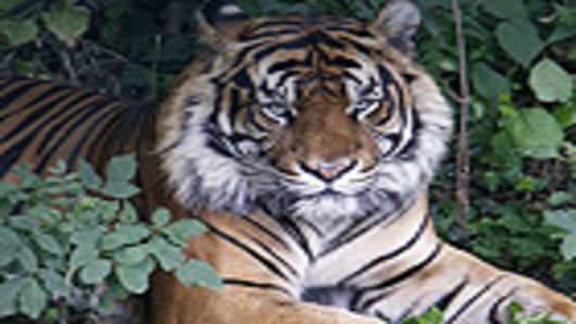 tiger_140.jpg
