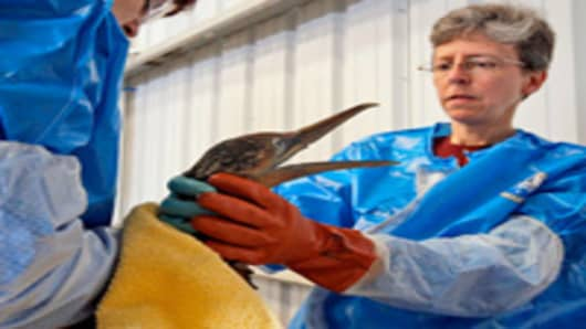 Tri-State Bird Rescue and Research workers clean Northern Gannet bird covered in oil from Deepwater Horizon oil rig incident.