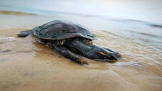 A dead turtle lies in the surf as concern continues that the massive oil spill in the Gulf of Mexico may harm animals in its path on May 3, 2010 in Bay St Louis, Mississippi.