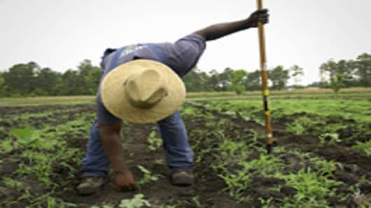Farmer picking weeds