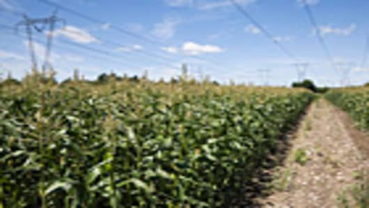corn_field_140.jpg