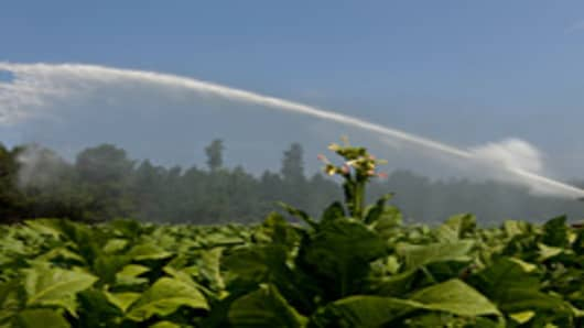 A tobacco crop in Wilson, N.C., begins to bloom.