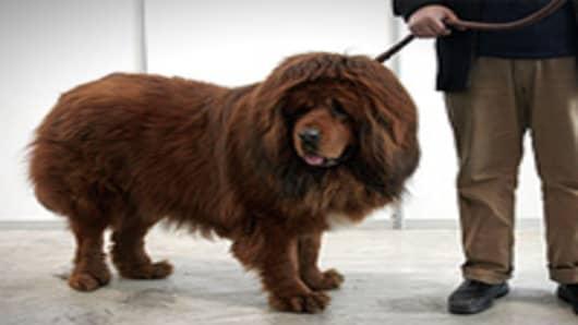 dog_tibetan_mastiff2_200.jpg