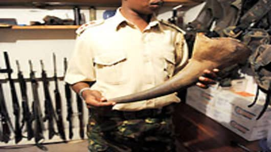 John Pameri, head of the security at the Lewa Wildlife Conservancy in central Kenya, holds a Rhino tusk his team took from a Rhino that was shot dead by poachers earlier in the week, at the security headquarters on December 9, 2010. Spanning 62,000 acres, Lewa is home to more than 10 percent of Kenya's black rhino population and over 14 percent of Kenya's white rhino population.