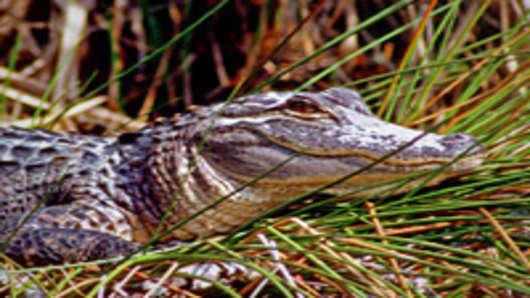 alligator-2-200.jpg