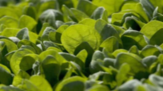 Baby spinach growing in field