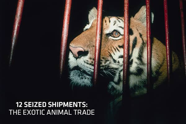 Rare and beautiful, exotic animals have spurred an illegal trade worth more than $10 billion worldwide, according to the World Wildlife Foundation. Live animals fuel an illegal pet trade, while products made from exotic animals, such as medicines and ivory carvings, can fetch large sums in the underground market. Given the possibility of enormous profits, smugglers use inventive methods to get live animals and their products inside U.S. borders. While the U.S. Fish and Wildlife Service battles t