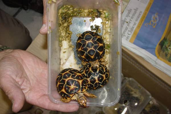 Labeled as a shipment of toys, this international mail package instead housed protected turtles into the United States. The sender, a businessman from Asia, was found to have smuggled protected reptiles, including Burmese star tortoises, Chinese water dragons and saltwater crocodile. He pleaded guilty to felony charges of conspiracy, smuggling and false labeling of imported wildlife and was sentenced to a 39-month prison term.