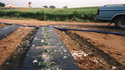 "Robert Warren had his workers scatter ice cubes and mothballs in one of his tomato fields, and then claimed his plants were damaged by a ""hailstorm."""