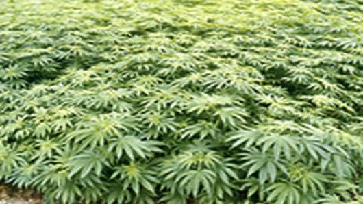 field-of-marijuana-plants2-200.jpg