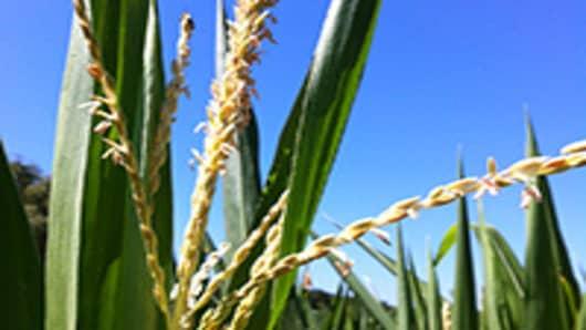 corn-Ill-200.jpg