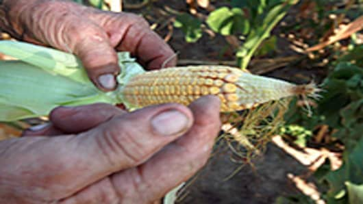A farmer looks over an ear of corn picked from one of his fields near Ashley, Illinois. According to the Illinois Farm Bureau the state is experiencing the sixth driest year on record.