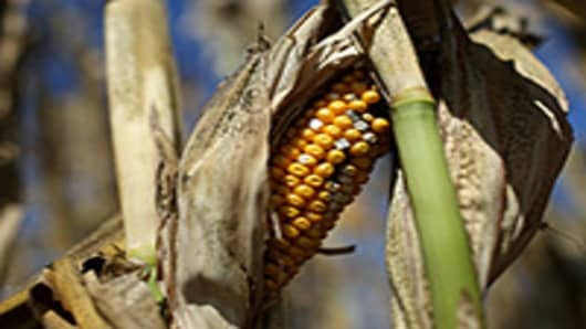 A rotting ear of corn sits on a struggling corn plant in a drought-stricken farm field.