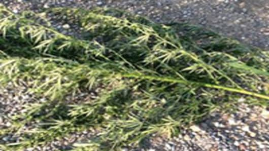 Marijuana: The Drought-Tolerant Plant