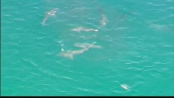 Massive Shark Feeding Frenzy Closes Aussie Beach