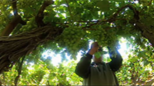 GRAPE-PICKING-COHN2.jpg