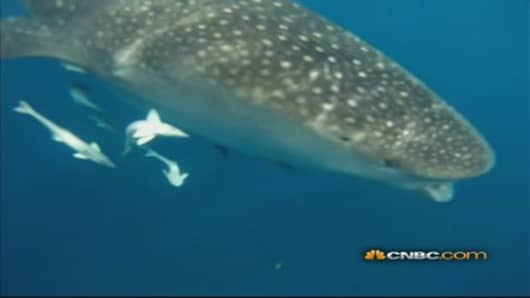 Very Close Encounter with a 25-Foot Whale Shark