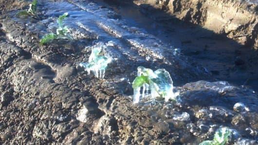 Frozen cauliflower crop in Coahella, California.