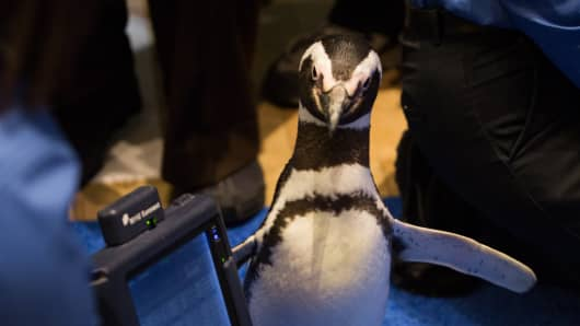 A SeaWorld penguin poses next to a NYSE trader's tablet at the launch of SeaWorld's IPO.