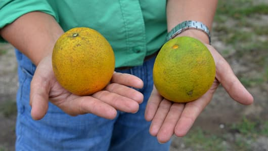 Emma Reynolds, holds a healthy, left, and diseased Valencia orange, right, in the family groves in Lake Placid, Florida.