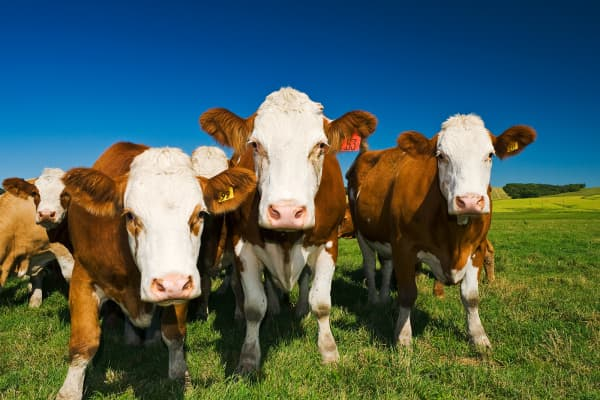 cows cattle commodities agriculture