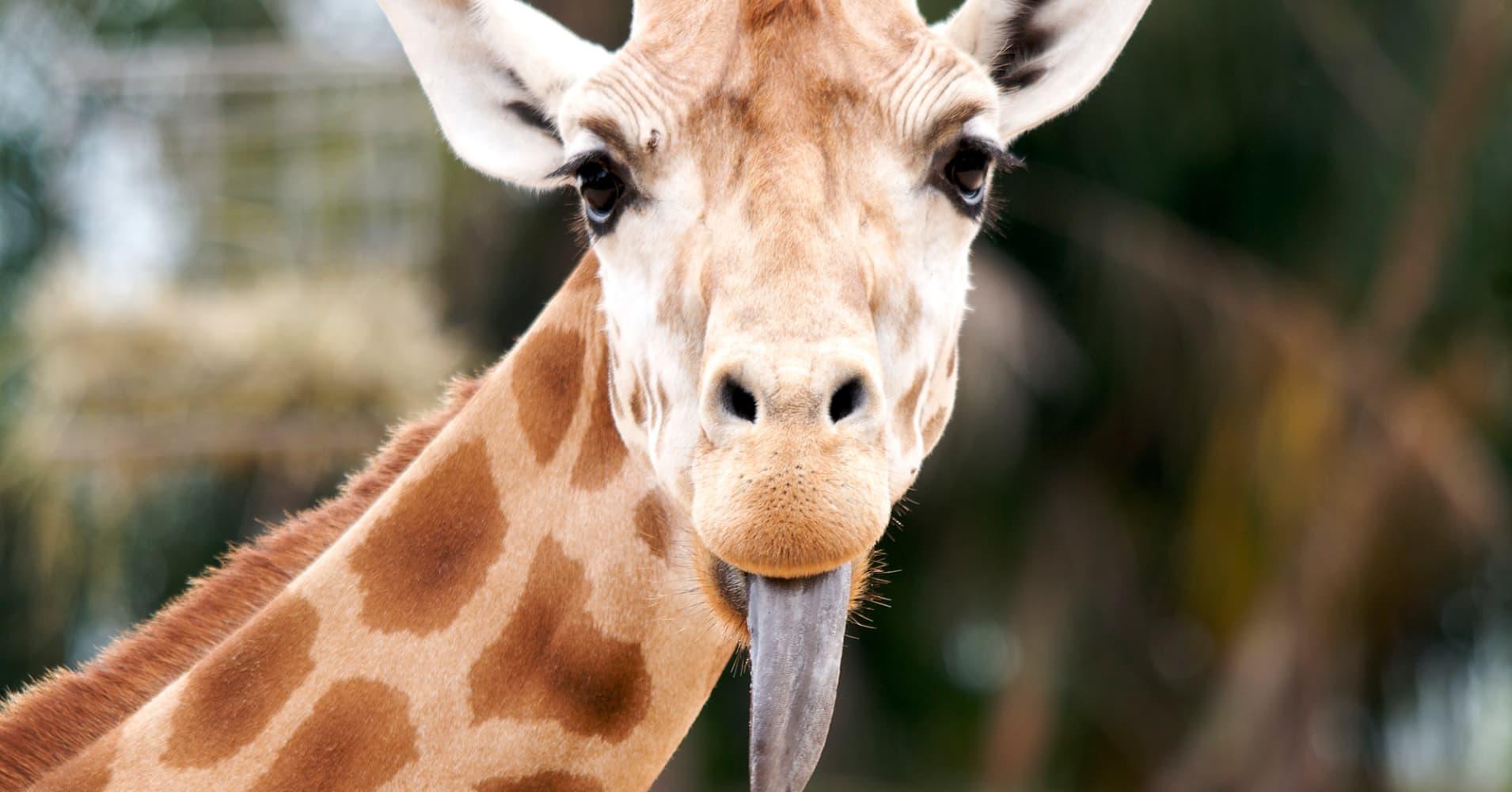Прикол картинка жираф