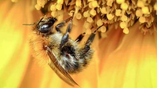 Honeybee collecting nectar from sunflower