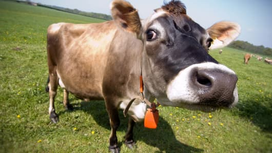 Image result for Cow with a cowbell