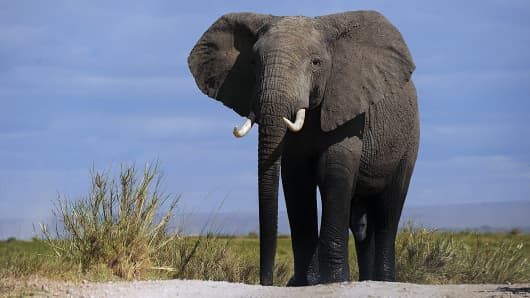 A bull elephant walks in Amboseli National Park, Kenya.