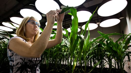 A researcher takes tissue samples from genetically modified corn plants.