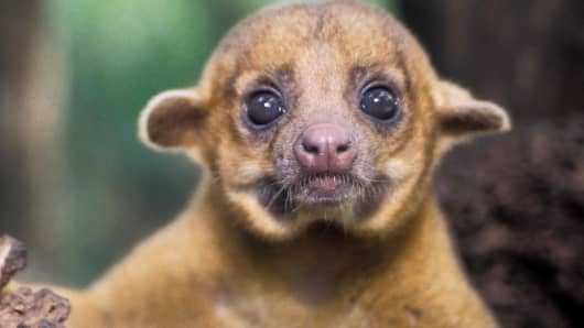Mammal in demand: An exotic kinkajou from Central America