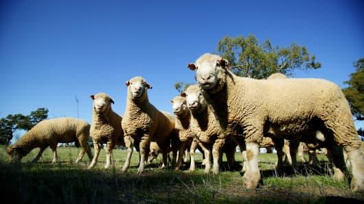 Generic photo of sheep.
