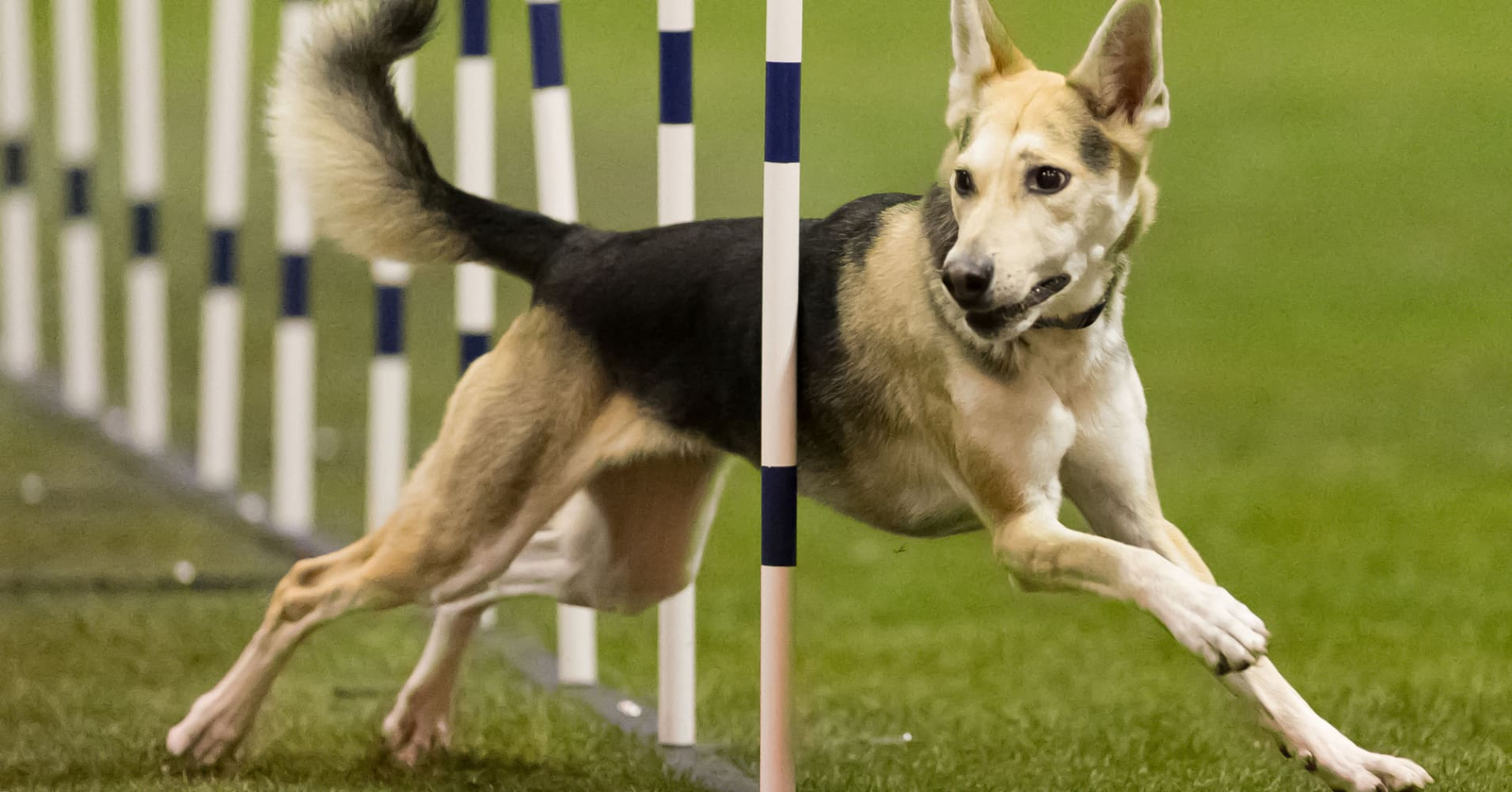 Westminster dog show opens to mutts