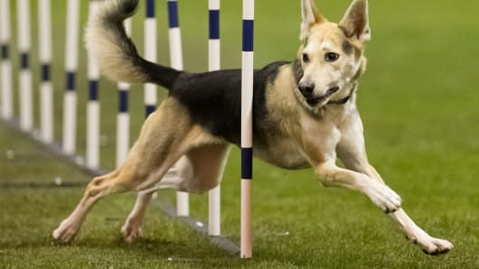 In this December, 2012 photo, Roo! weaves through obstacles during agility competition in Orlando, Fla.