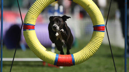 Mixed-breed Rosie jumps through the tire jump at an AKC Agility Trial in Freehold, N.J.