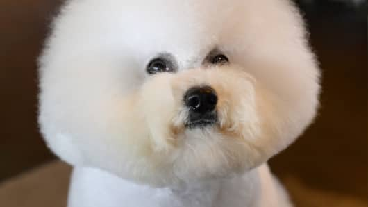 A bichon frise waits for judging to start Monday, the first day of competition at the 138th Annual Westminster Kennel Club Dog Show in New York.