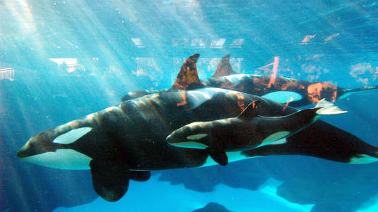 Killer whales at SeaWorld in San Diego.