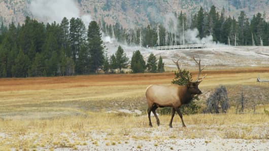 Elk at Old Faithful in Yellowstone National Park