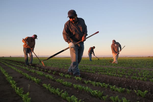 A file photo of Mexican agricultural workers on a farm in Holtville, Calif.