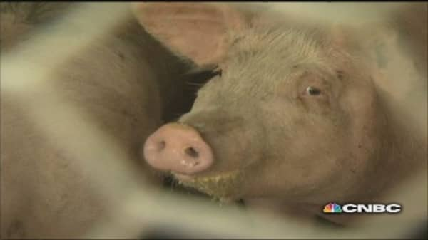 What's killing the pigs?