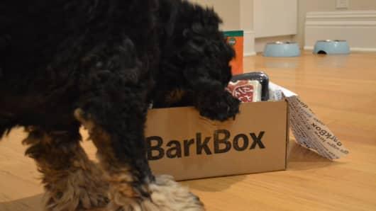 Compass, an American Cocker Spaniel from Brooklyn, sniffs over a BarkBox.